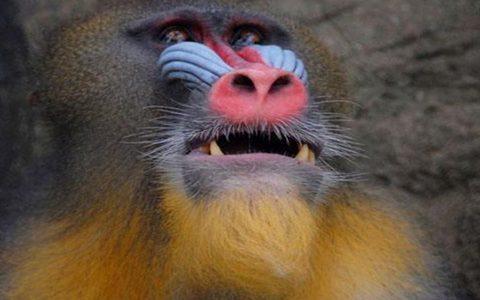 世界上最大的猴子是大猩猩还是山魈